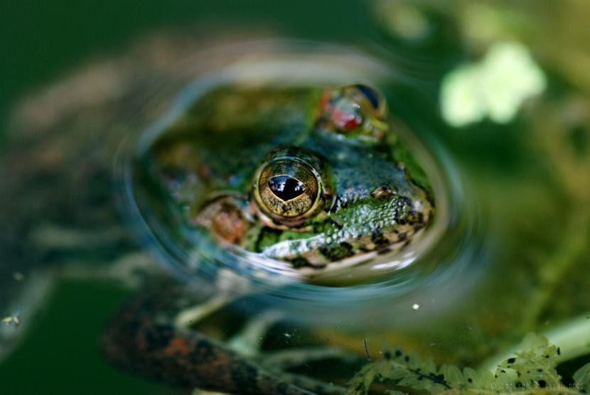 indian skittering frog, euphlyctis cyanophlyctis