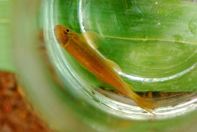 silver algae eater, garra mullya