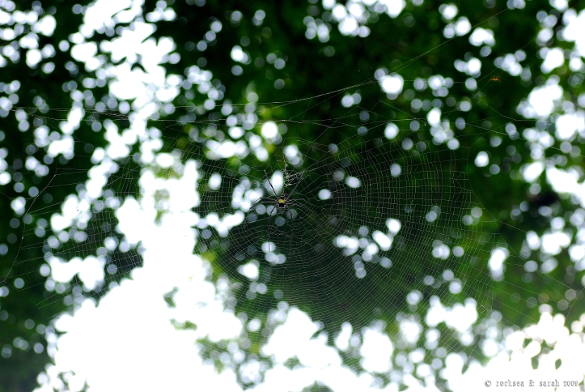giant wood spider, nephila pilipes, male and female, india