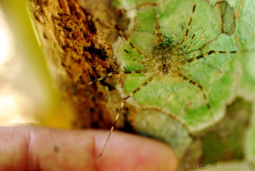 two tailed spider hersilia svignyi, kottayam kerala