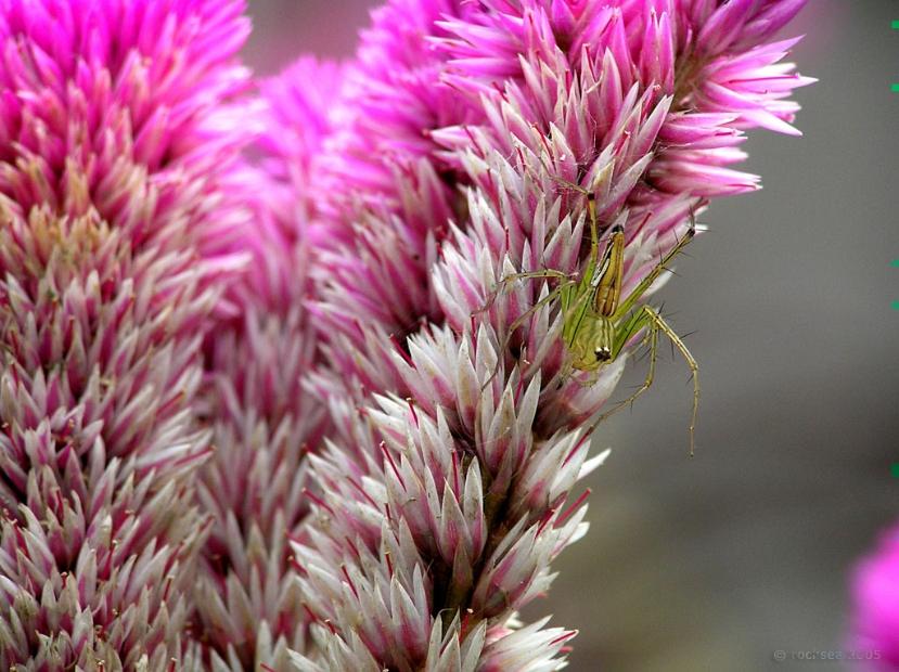 lynx spider, oxyopidae