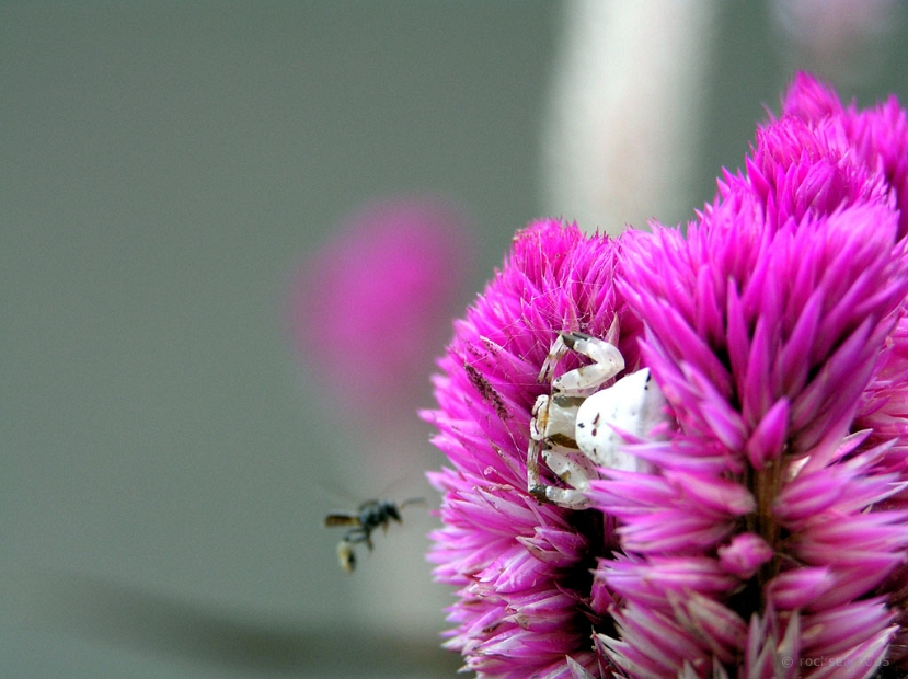 thomisus pugilis spider and a bee