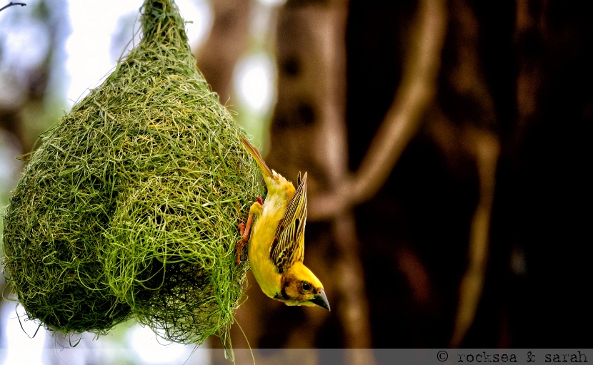 baya weaver nest building