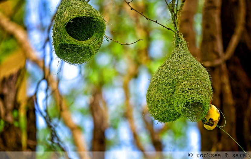baya weaver nest building at Pune, Maharashtra
