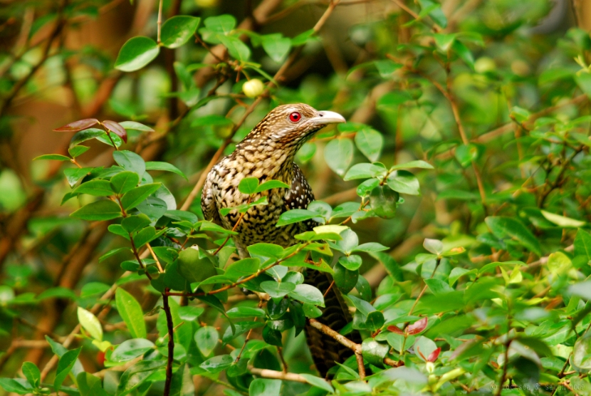 indian koel female on the cherry tree