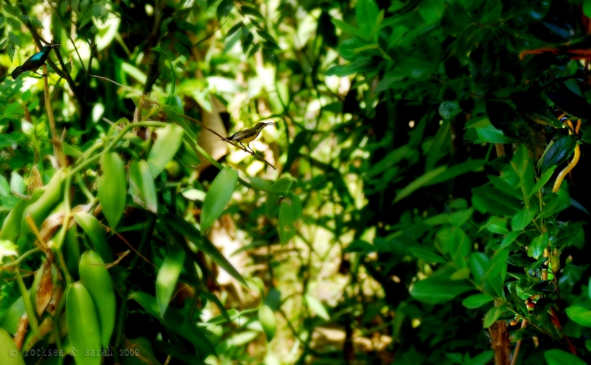 purple sunbirds and the snake