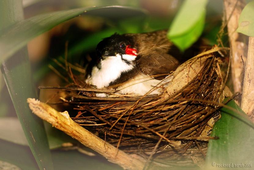 Chim chào mào: phân loại/mẫu mã-vùng miền, các nước trên thế giơi