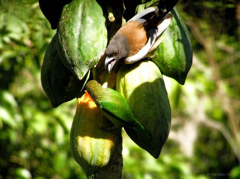 indian treepie and the small green barbet
