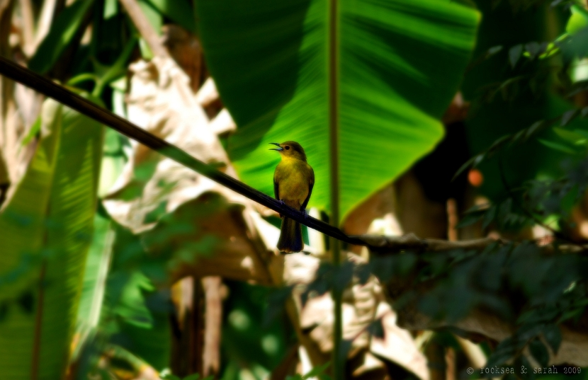 yellow browed bulbul, lole indica