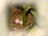 red_whiskered_bulbul_egg_002 * Nest of a Red whiskered Bulbul Pycnonotus jocosus. @ home, kerala. * 1600 x 1071 * (288KB)