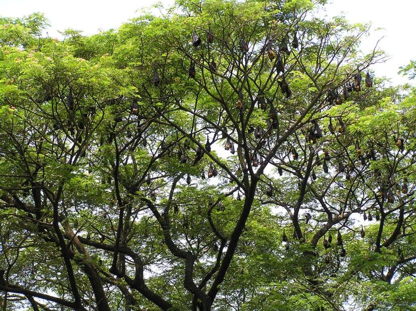 fruit bats at mangalavanam, kochi