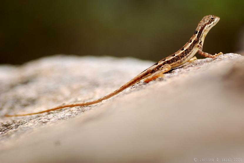 fan-throated lizard, sitana ponticeriana, hyderabad