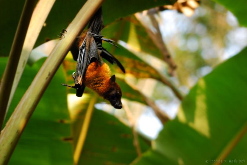 fruit bat, pteropus giganteus