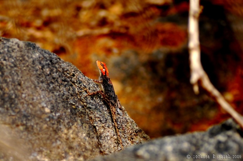 psammophilus dorsalis, south indian rock agama