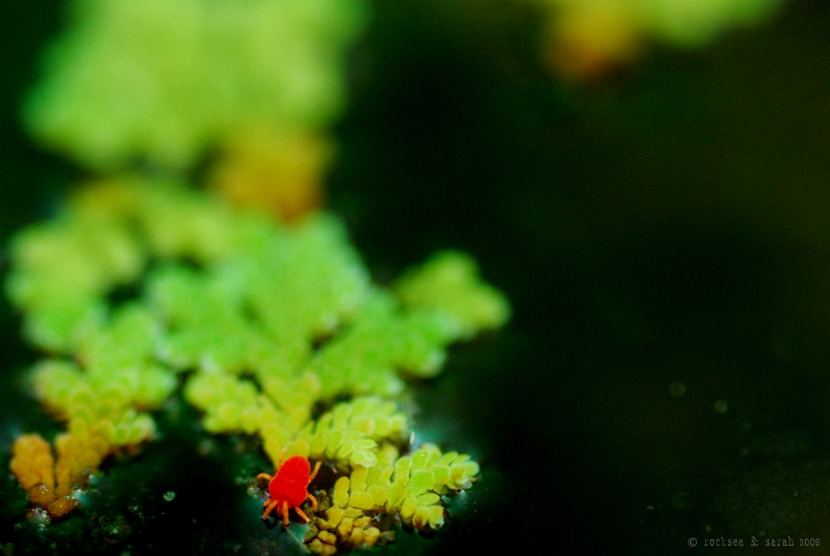 velvet mite on azolla