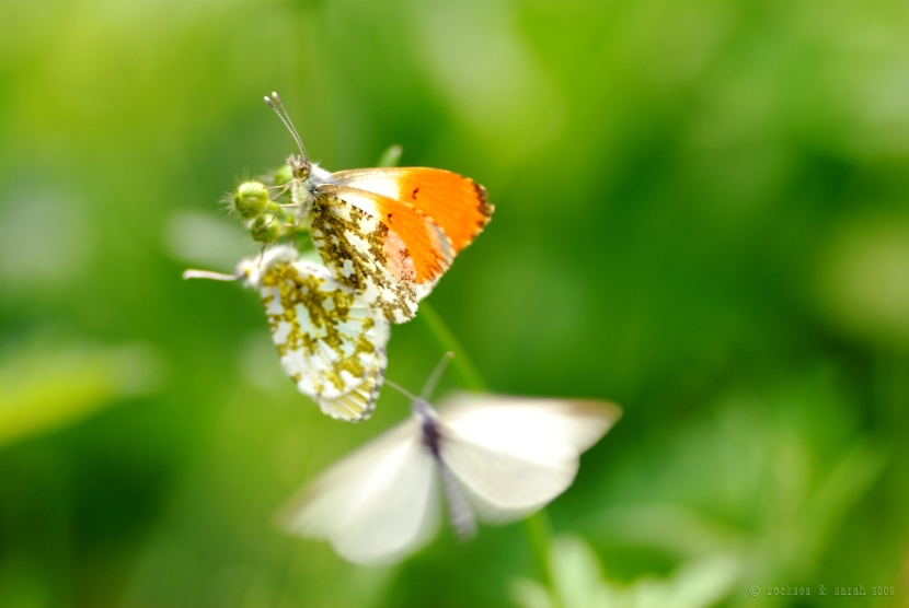 orange tip butterfly, anthocharis cardamines mating