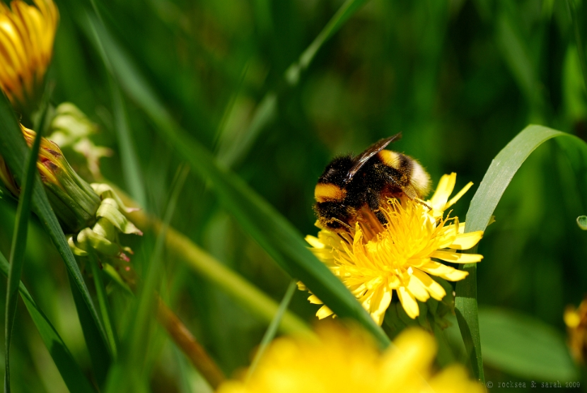 bumble bee on a dandelion for pollen