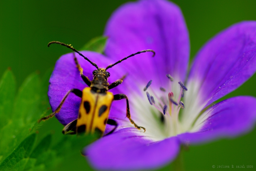 longhorn beetle, aosta, italy. black dots on yellow.