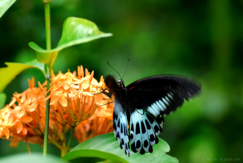 blue mormon butterfly on an ixora flower