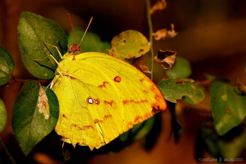 lemon emigrant butterfly, western ghats
