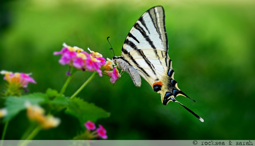 common yellow swallowtail, papilio machaon