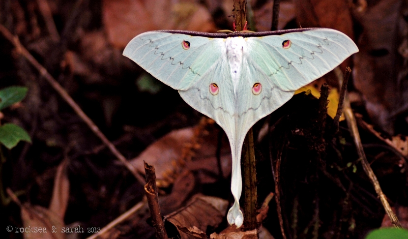 indian moon moth, actias selene