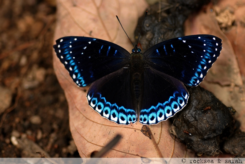 popinjay butterfly, stibochiona nicea