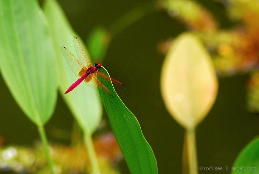 crimson marsh glider, trithemis aurora