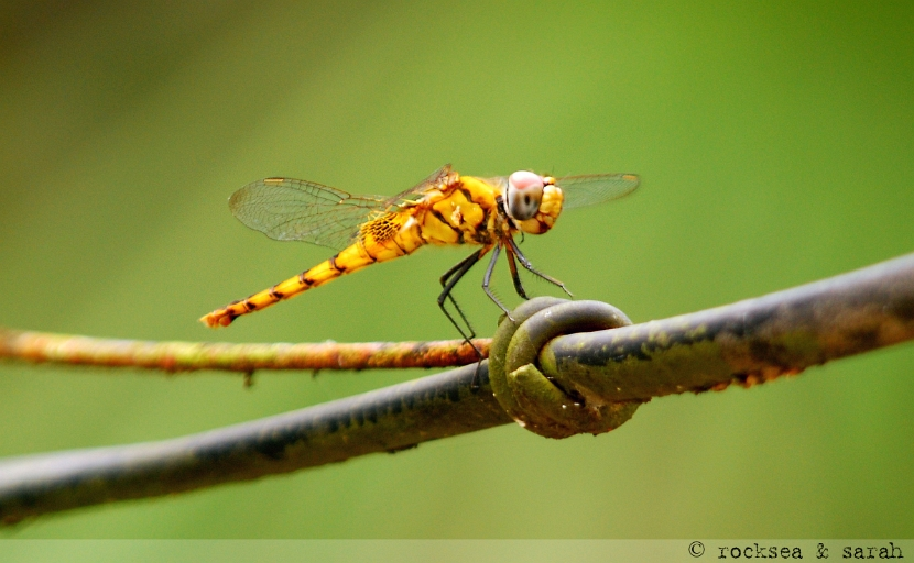 crimson marsh glider, female