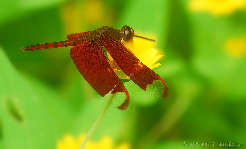 Fulvous Forest Skimmer dragonfly, neurothemis fulvia